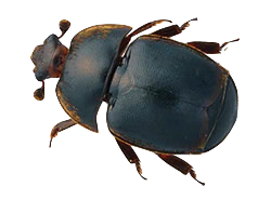 small-hive-beetle
